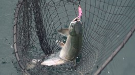 Salmon in the Net