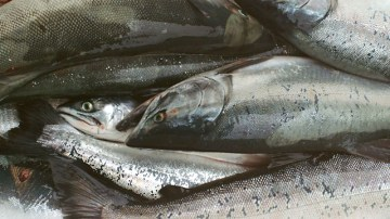 A cooler full of salmon, photo by Darcy Lynn