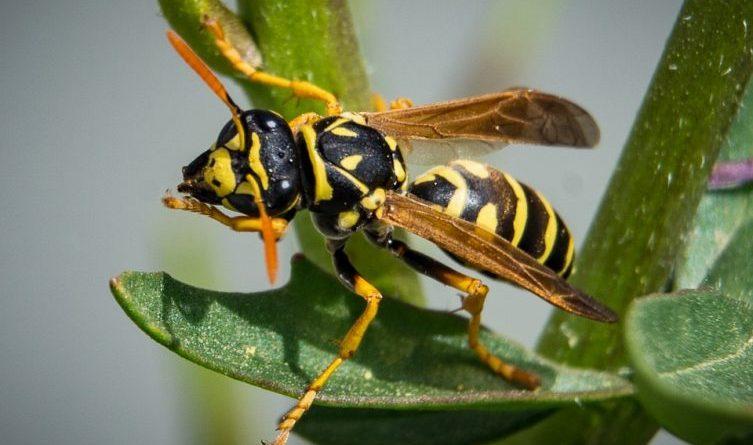 Keine Angst vor Wespen und Hornissen Landkreis koordiniert ein Netz von Beratern Foto: Pixabay