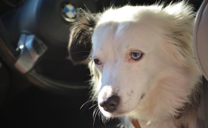 Hund im Auto gelassen - Hund schwimmt orientierungslos im Speicherbecken - Hund am Fahrrad - Wir haken nach Schon kurze Zeit bei den Temperaturen im Auto kann für ein Hund tödlich sein. Foto: NordNews.de