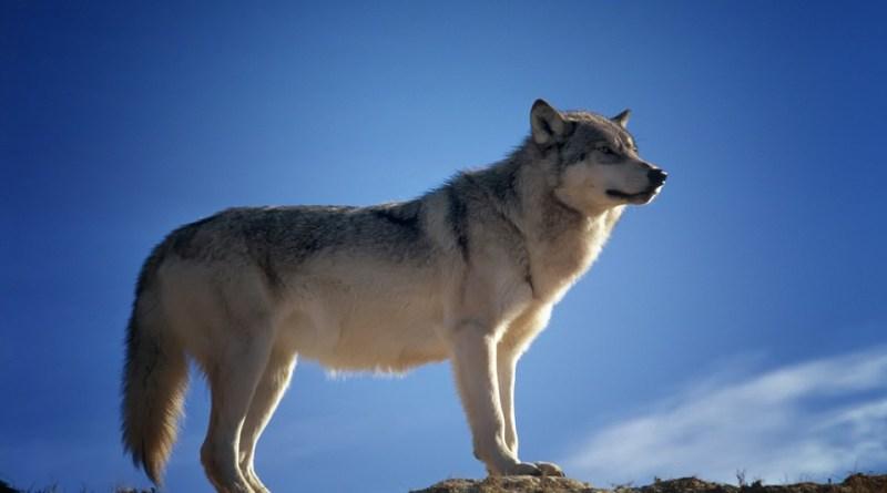 Umweltministerium untersucht mutmaßlichen Wolfsbiss im LK Rotenburg Foto: Pixabay