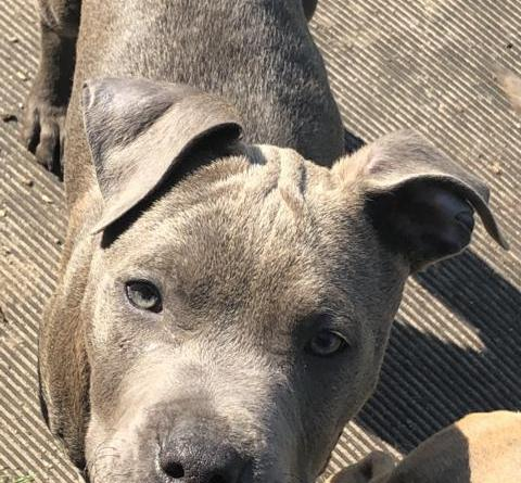 Ein Zuhause für sechs American Staffordshire Terrier-Welpen gesucht Foto: Landkreis Grafschaft bentheim
