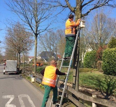 Mitarbeiter des Baubetriebshofs der Stadt Meppen hängen Nistkästen für Meisen – den natürlichen Fressfeinden des EPS – im Stadtgebiet auf. Foto: Stadt Meppen