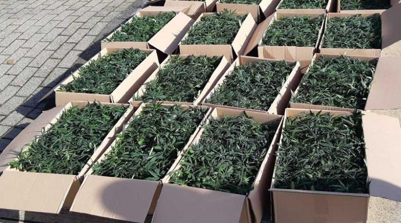 Niederländer mit 1536 Cannabispflanzen unterwegs - Foto: Polizei
