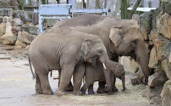 Auch wenn sich Yaro hauptsächlich von der Milch seiner Mutter ernährt, tastet der kleine Elefant schon interessiert nach dem Heu, dass Mutter Douanita und Halbbruder Minh-Tan essen. Dabei schaut er sich das Verhalten der Älteren genau ab und lernt viel für die Zukunft. Foto: Zoo Osnabrück (Jan Banze)