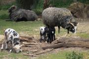 Buntes Treiben bei den Guteschafen im Zoo Osnabrück. Schon vier Lämmer sind dieses Jahr zur Welt gekommen und spielen ausgelassen auf der Wiese. Für Ruhezeiten legen sie sich auch gerne auf den Rücken ihrer Mütter und machen es sich im kuscheligen Fell bequem. - Foto: Zoo Osnabrück