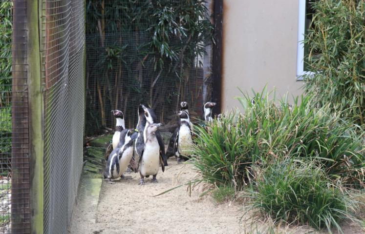 """Das neue Gehege ist noch ungewohnt, doch die neugierigen Humboldt-Pinguine haben ihr neues """"Zuhause auf Zeit"""" bereits ausgiebig erkundet. Während der Bauarbeiten leben sie in einer Voliere neben der Zoogaststätte. Für Besucher sind die Vögel aktuell nicht zu sehen. Foto: Lisa Simon"""
