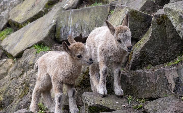 (Wilfried Jürges): Die beiden drei Wochen alten Steinbockjungtiere turnen über die Felsen der Anlage.