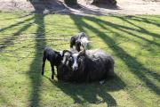 """An den """"Maiabenden"""" im Zoo Osnabrück sind auch die Lämmer der Guteschafe zu sehen. Der junge Nachwuchs tobt gerne über die grüne Wiese und macht es sich gelegentlich auch auf dem Rücken der Mutter bequem. Besonders im """"Kajanland"""", wo die Guteschafe im Zoo beheimatet sind, können in den Abendstunden viele Tiere beobachtet werden. Bildquelle: Zoo Osnabrück (Marilena Koch)"""