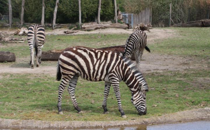 """Die neue Zebrastute Bonita hat sich gut im Zoo Osnabrück eingelebt. Bonita ist ein Chapman-Zebra und kann in der Tierwelt """"Takamanda"""" zusammen mit den Zebrastuten Jule und Nairobi sowie Zebrahengst Django besucht werden. Foto: Zoo Osnabrück (Jan Banze)"""