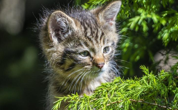 Kleine Wildkatzen beim Zootierarzt - Förderverein weiter auf der Suche nach dem 600. Mitglied - Foto: Jörg Everding