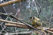 """Auf dem Rücken seiner Mutter fühlt sich der kleine Totenkopfaffe derzeit noch am sichersten. Diese hält das zusätzliche Gewicht aber nicht vom geschickten Klettern ab. Insgesamt drei kleine Totenkopfäffchen sind im Zoo Osnabrück geboren worden und können aktuell im """"Südamerikahaus"""" entdeckt werden. Foto: Zoo Osnabrück (Jan Banze)"""