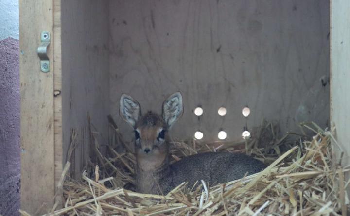 """Das kleine Kirk-Dikdik Jenny im Zoo Osnabrück liegt noch gerne in einer warmen Holzkiste, ab und zu wagt sie sich aber auch schon nach draußen. Ende Oktober ziehen alle Dikdiks nach """"Samburu"""", wo sie dann auch besser von den Besucher gesehen werden können. Foto: Zoo Osnabrück (Lisa Simon)"""
