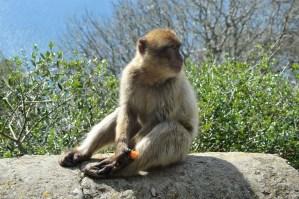 Barbary Ape 3314435 1280