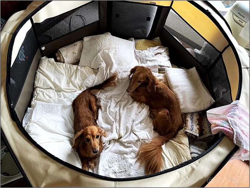 2匹入っても余裕の大きさ・広さ。介護・老犬にオススメの「ペットサークル」 に実際に犬が入った写真。【ミニチュアダックス】【徹底解説】介護・老犬にオススメのケージ「ペットサークル」!グルグル回る・徘徊するイヌに最適!【ottostyle.jp 折りたたみ八角形ペットサークル】