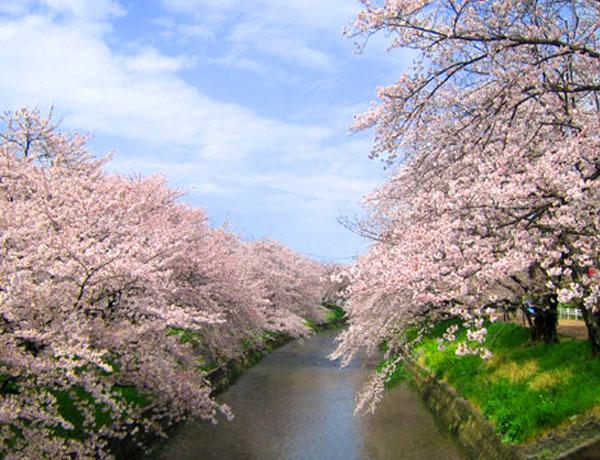 岩倉の桜祭り