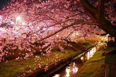 スマホでも夜桜が撮れる!galaxy S10のナイトモードで夜桜を撮ってみました。