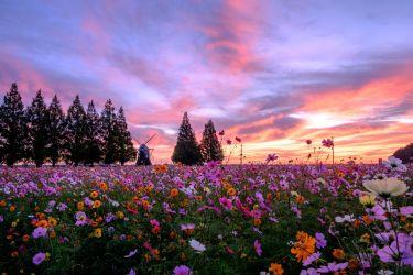 千葉県のインスタ映えスポット あけぼの山農業公園のコスモス畑