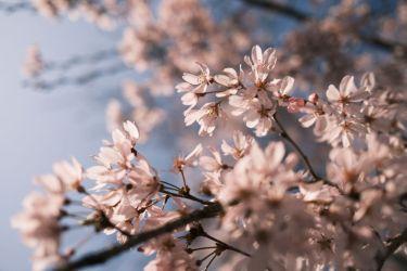 【X100V作例】クラシックネガで撮る桜