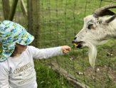 Ziegen füttern mit Babauba