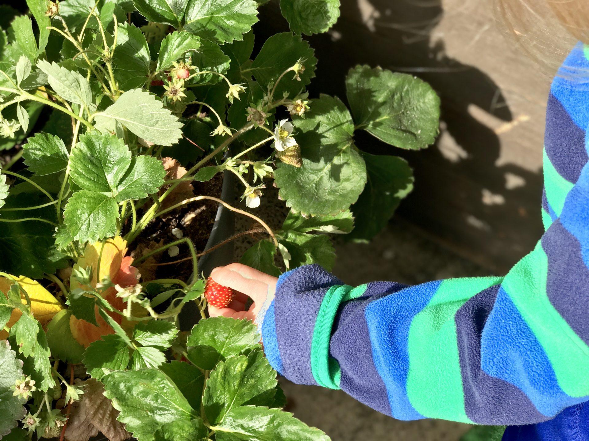 Merlin erntet Erdbeeren auf dem Balkon des Apartments