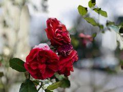 Risky Week 50 – eine Rose mit Schnee