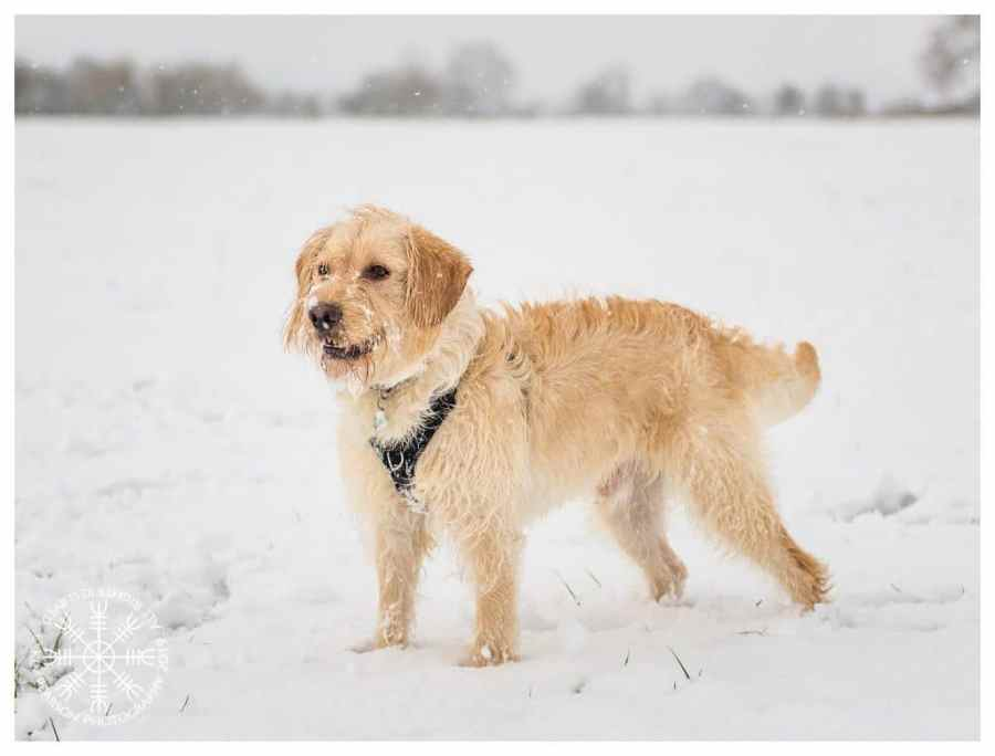 Photographer Kev Pearson's Dog, Ghillie, in the snow in Glastonbury.