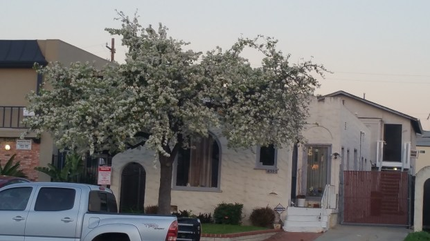 Cherry Blossom Tree in Normal Heights