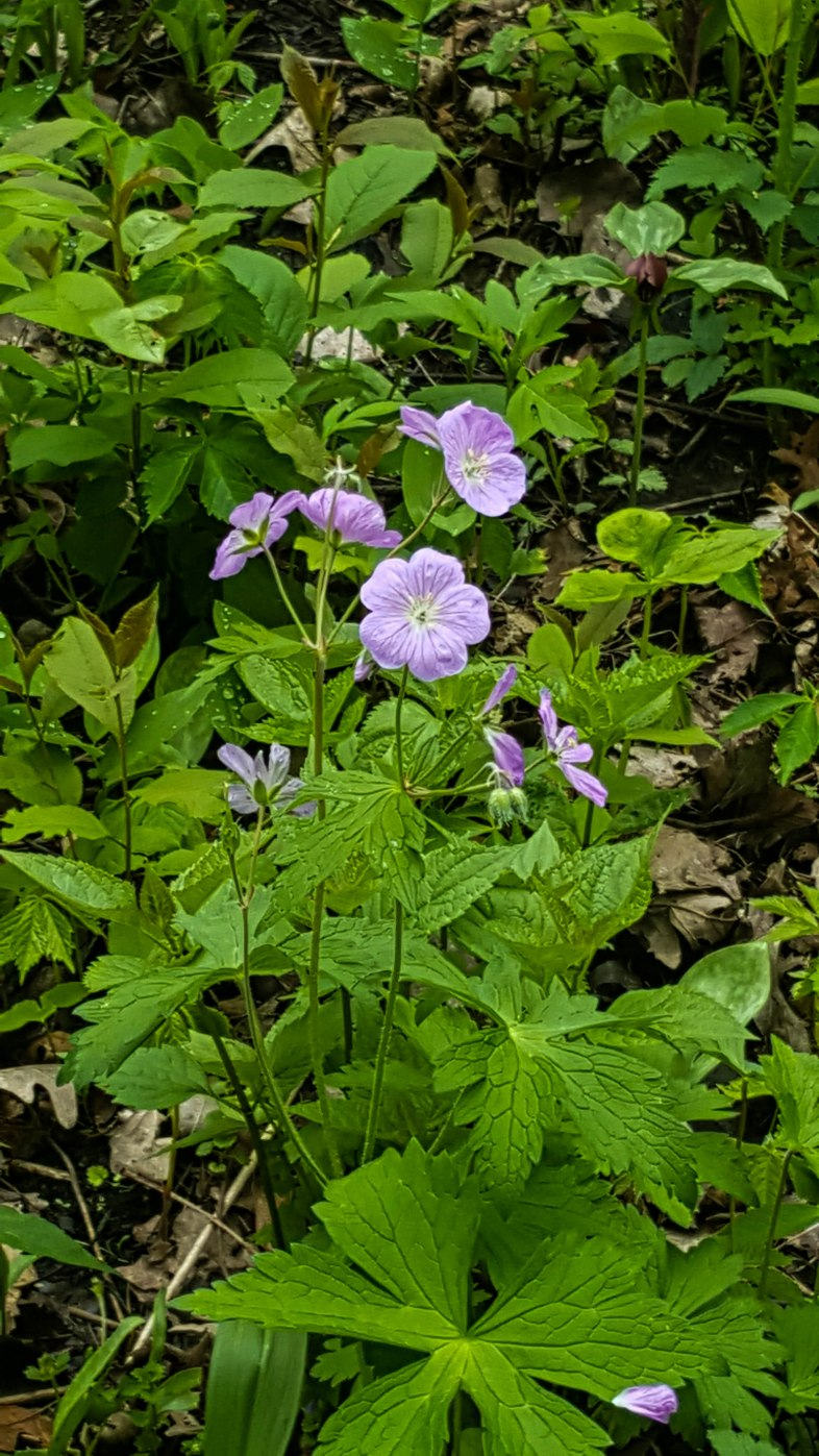 Purple wildflowers on the side of the trail