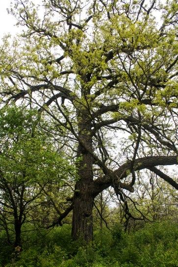 Big, old oaks