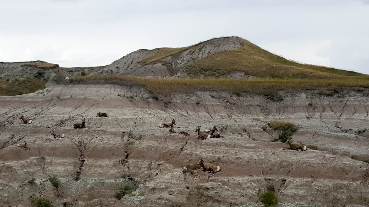Sheep just hanging out in the Badlands