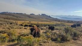 Good morning, bison