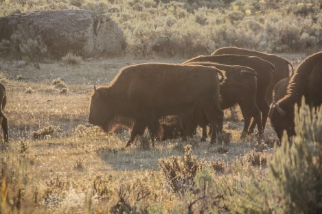 Early morning wildlife viewing in Lamar Valley