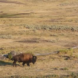 Bison in Lamar Valley