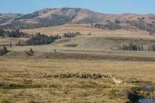 Pronghorn in Lamar Valley