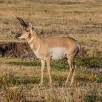 Pronghorn in Lamar Valley
