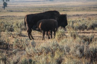 Mama and baby bison