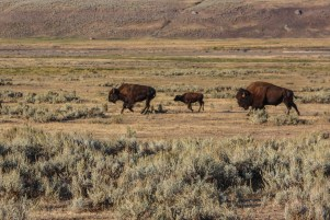 Baby bison on the move
