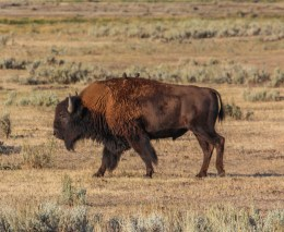 Some birds hitching a ride on a bison