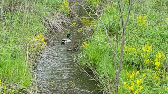 A pair of Mallard ducks floating through a culvert