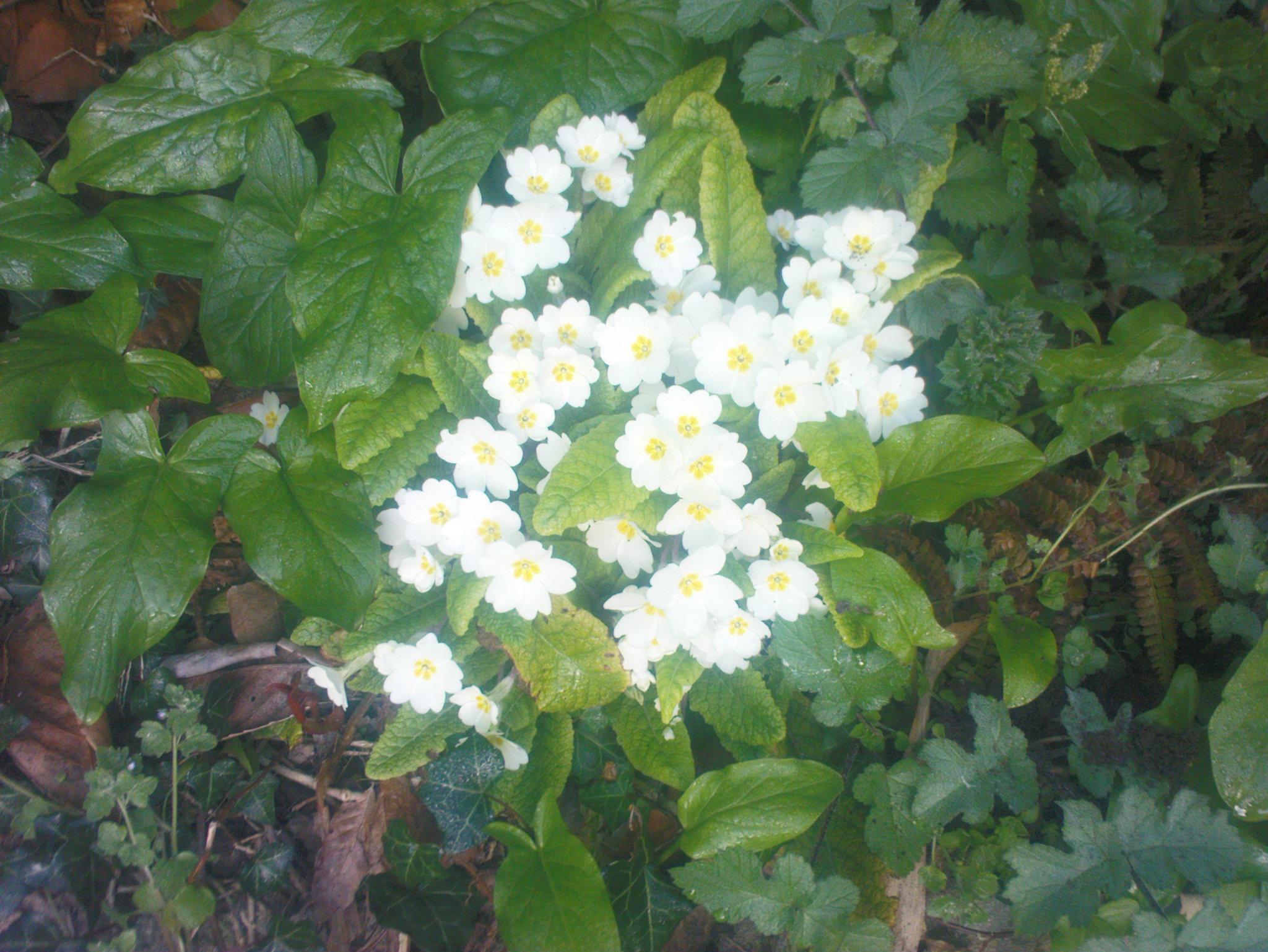 damian-garden-pansies-033