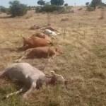 Matan 9 novillas por disparos de rifle en Montehermoso