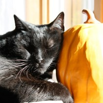 Cat sleeping on pumpkin