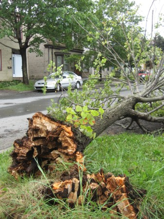 High winds toppled this tree on Harris Street.