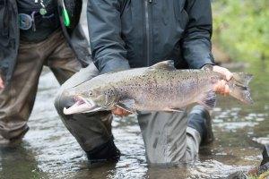 Salmon in the North Atlantic