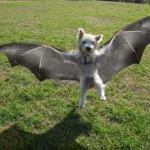 bat terrier