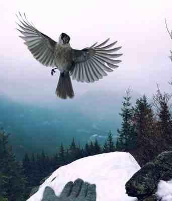 Bird on Mt Si Summit