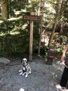 Dalmatian Puppy where Franklin Falls Trail leaves road