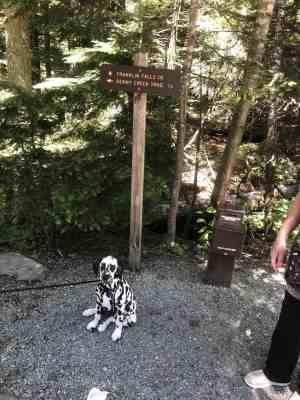Dalmatian Puppy where Franklin Falls Trail leaves road