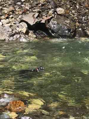 Dog Enjoying Pool Below Franklin Falls